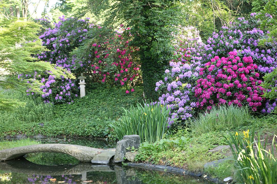 Super Rhododendron – Kamelienschloss &UA_49